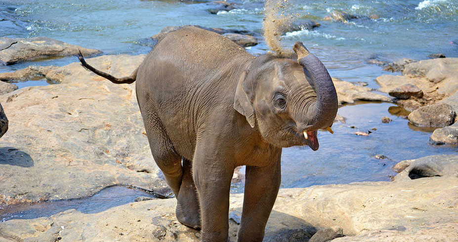 sri lanka slon